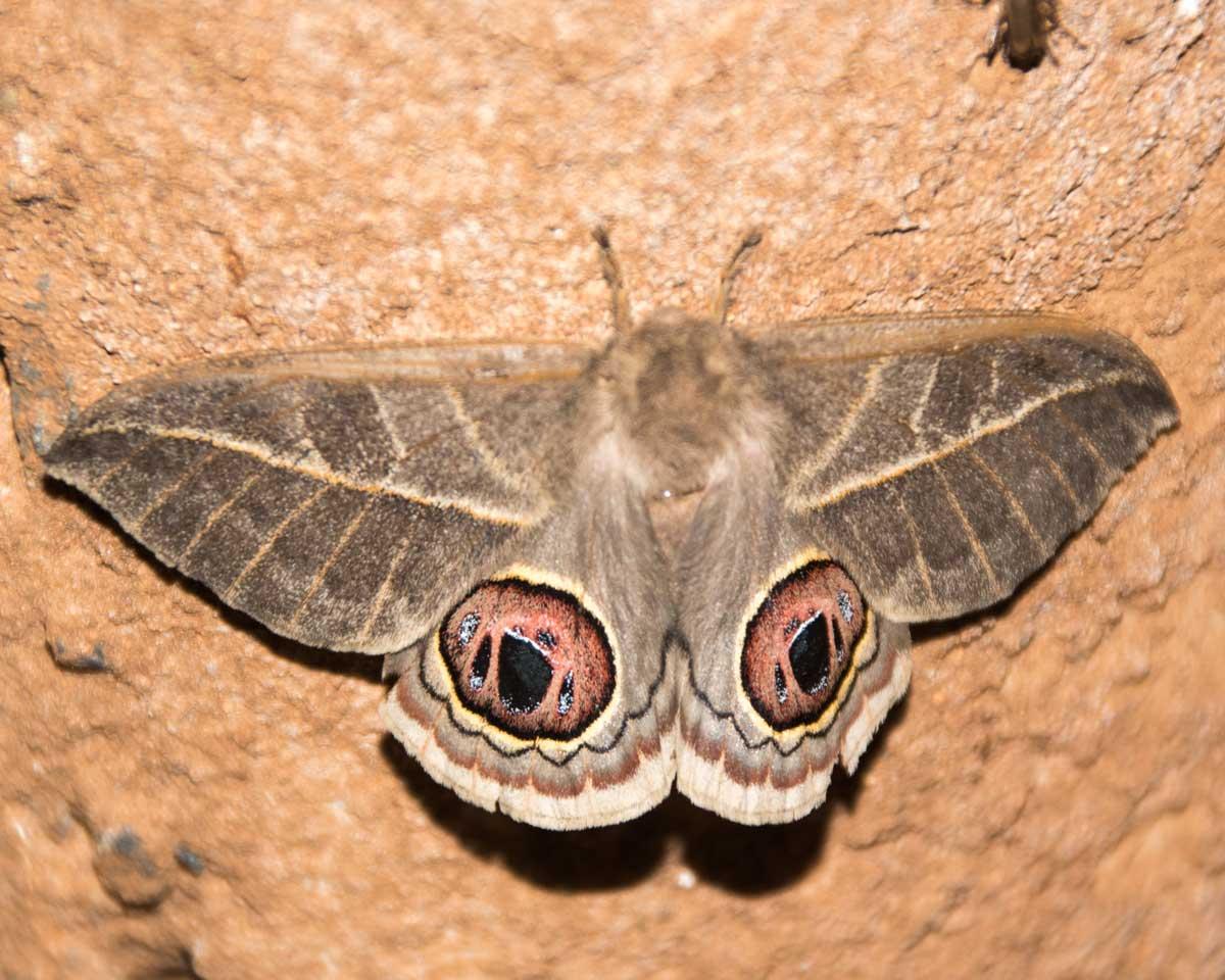 Owl-eyed Moth, Jorupe Reserve, Ecuador | ©Angela Drake
