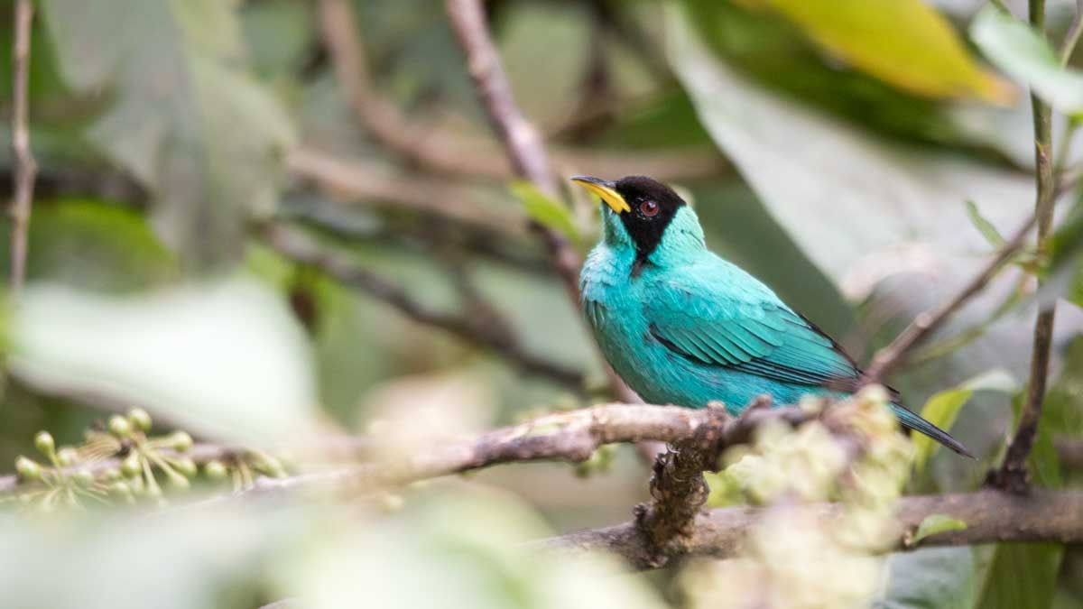 Green Honeycreeper, Umbellabird Lodge, Buenaventura, Ecuador | ©Angela Drake
