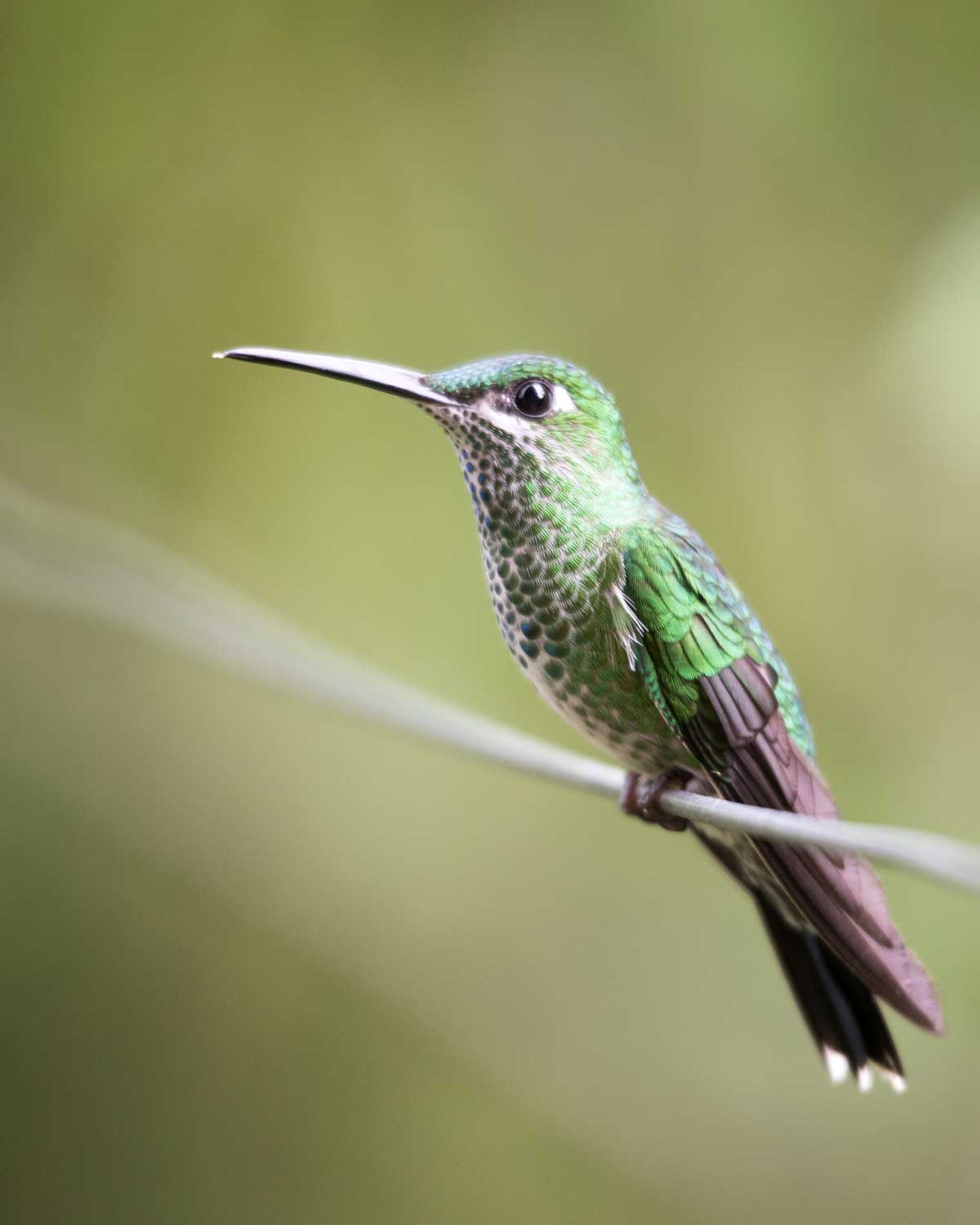 Green-Crowned Brilliant, Umbellabird Lodge, Buenaventura, Ecuador | ©Angela Drake