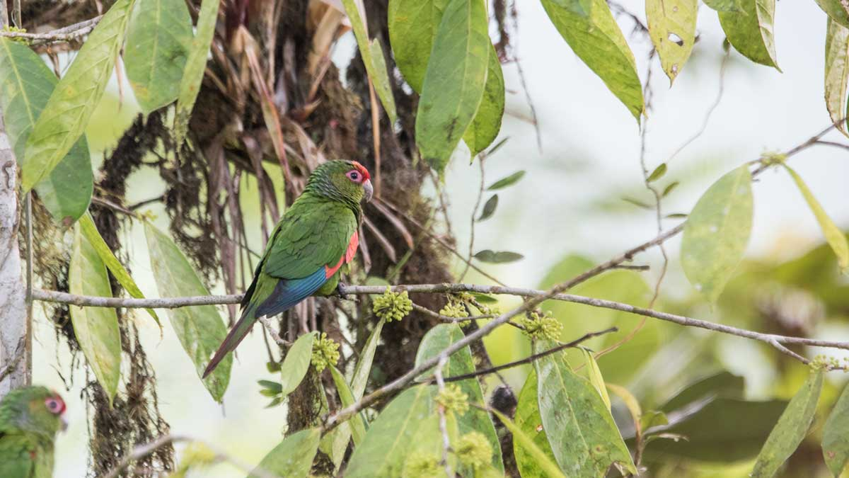 The El Oro Parakeet, Buenaventura Scientific Research Station, Piñas, Ecuador | ©Angela Drake