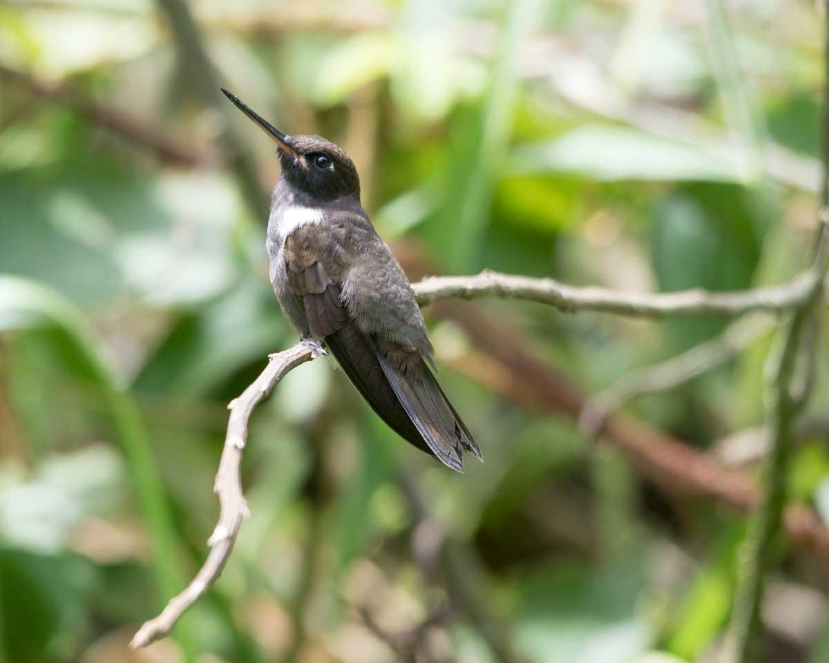 Green-crowned Brilliant Hummingbird, Hummingbird Garden, Piñas, Ecuador | ©Angela Drake