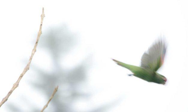 The Adorable El Oro Parakeet of Western Ecuador