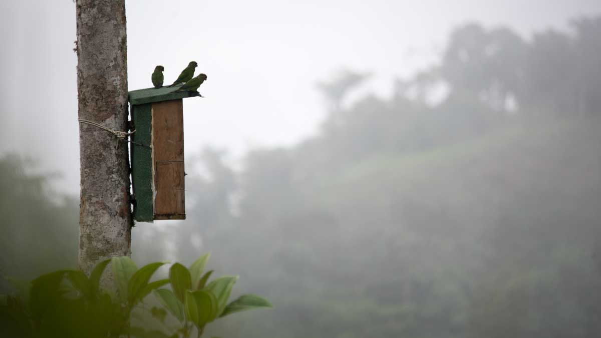 El Oro Parakeets on the box, Buenaventura Hacienda, Ecuador | ©Angela Drake