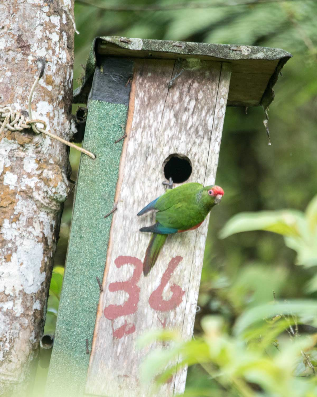 El Oro Parakeet on the nesting box, Buenaventura Research Station, Ecuador | ©Angela Drake