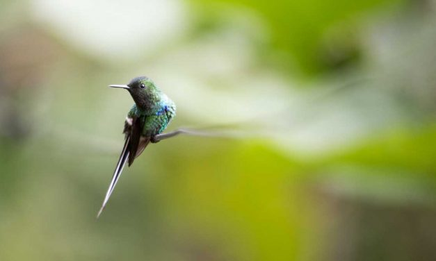 Can You Identify These 20 Ecuadorian Hummingbirds?